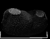 Trufas negras Tuber Melanosporum
